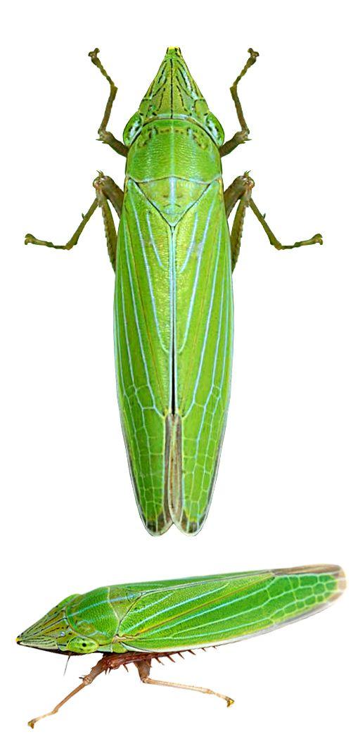 Draeculacephala angulifera