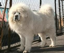 #Tibetan #mastiff Shaggy)