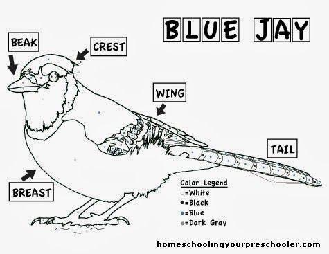 Blue Jay Coloring Sheet