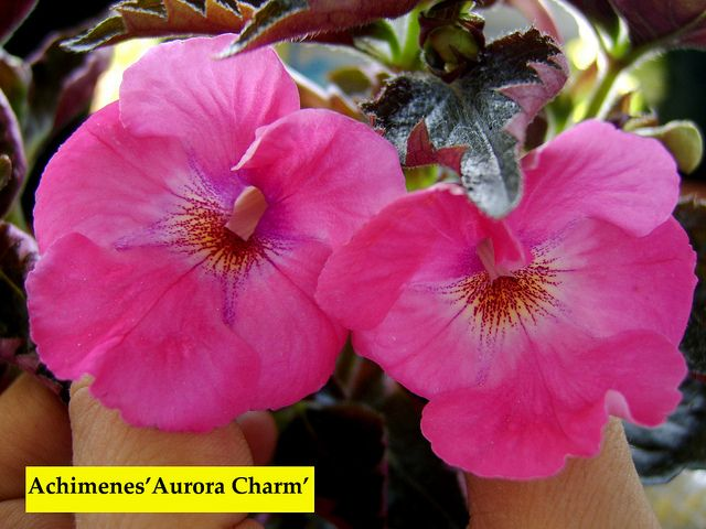 Achimenes 'Aurora Charm ' by Serge Saliba, via Flickr