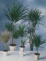 Dracaena marginata (Kantdracena)  Kantdracena finns i olika färger och storlekar. Ska stå på ljus plats, tål direkt sol. Trivs bäst i rumstemperatur. Regelbunden gödning på sommaren och sparsam på vintern. Bör hållas konstant fuktig, men något torrare på vintern. Älskar att få en dusch då och då. Kan toppas. Dracenan är: GIFTIG/TOXIC - dock bra för inomhusluften. Ursprungsland: Madagaskar