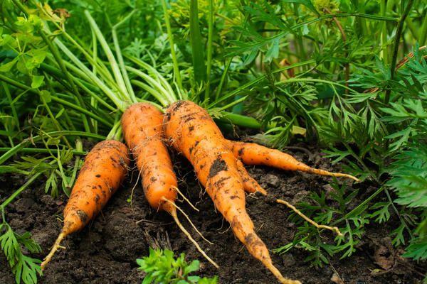 Хороший урожай моркови может вырастить любой огородник