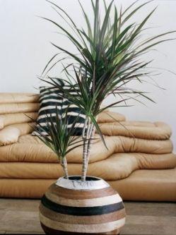 Dracena obrzeżona (Dracena marginata) nazywana jest czasem smokowcem lub drzewkiem smoka. Jest łatwa w uprawie i odporna na niesprzyjające warunki. Jest to doskonała roślina doniczkowa dla początkujących. Lubi jasne stanowiska, ale dobrze też będzie rosnąć w lekkim półcieniu. Źle rośnie tylko na prażącym słońcu.  Lubi umiarkowane podlewanie – raz na tydzień, na stanowiskach zacienionych i w zimie jeszcze rzadziej, fot. Biuro Kwiatowe Holandia