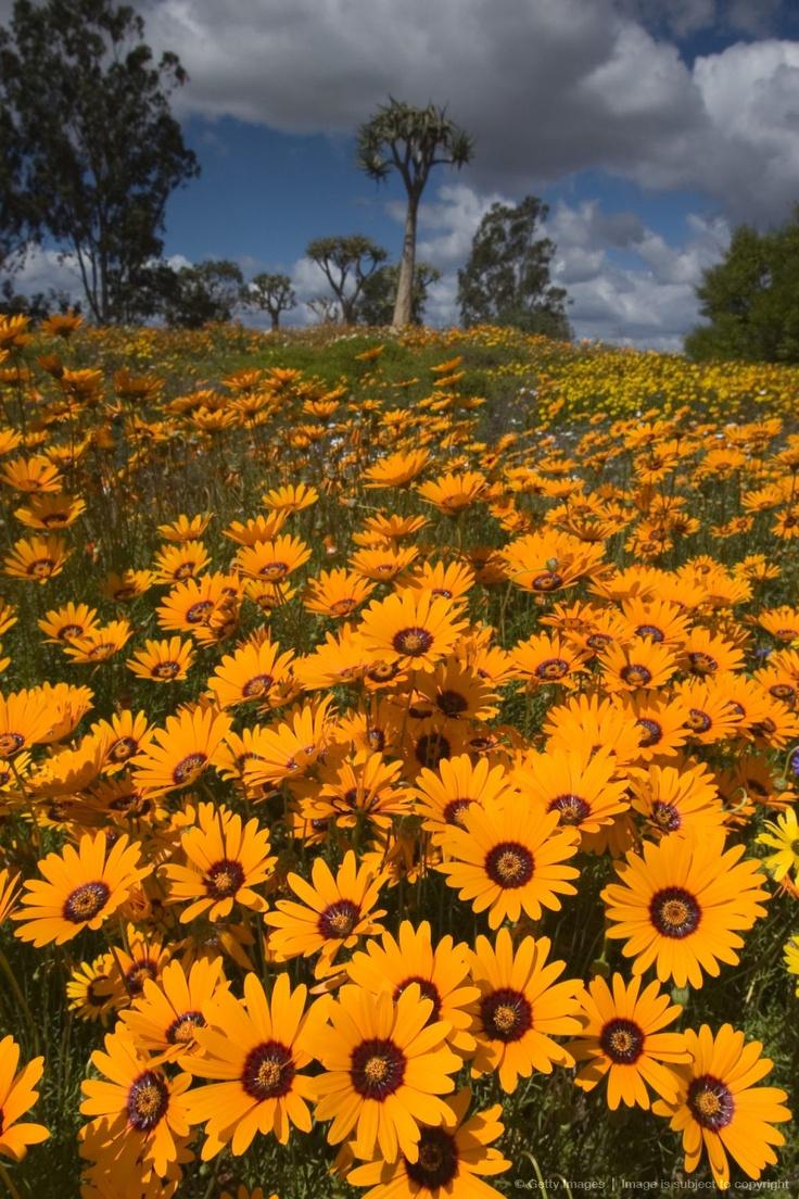 Image detail for -Daisy, (Asteraceae), West Coast N.P., Langebaan, South Africa