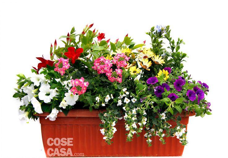 Ecco come preparare passo dopo passo una cassetta di fiori annuali colorata e rigogliosa fino a settembre. Riuscirà a stupire con poca manutenzione: acqua ed esposizione in pieno sole.