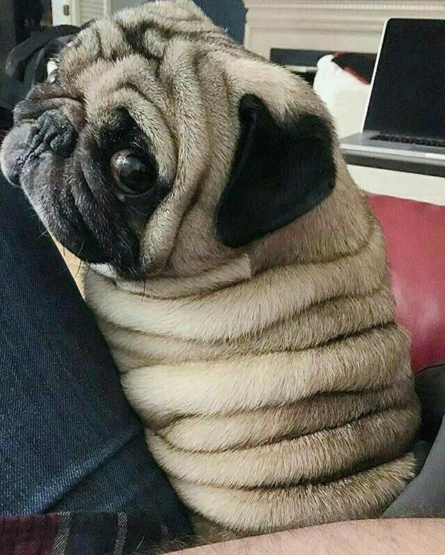 Calling Me A Great Big Wrinkle Is Not At All Funny Pug