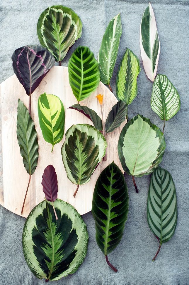 Calathea leaves can be beautiful just laid out on display. Place them in individual vessels in place of cut flowers
