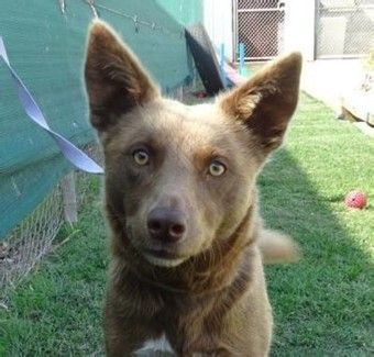 Pepa the Border Collie x Kelpie is located in Victoria and after a home.   Check out http://www.petrescue.com.au/listings/344705 for more details about the lovely girl.