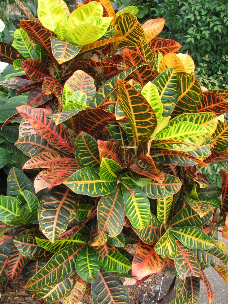Colorful croton plant colorful croton leaves painting by for Croton plant