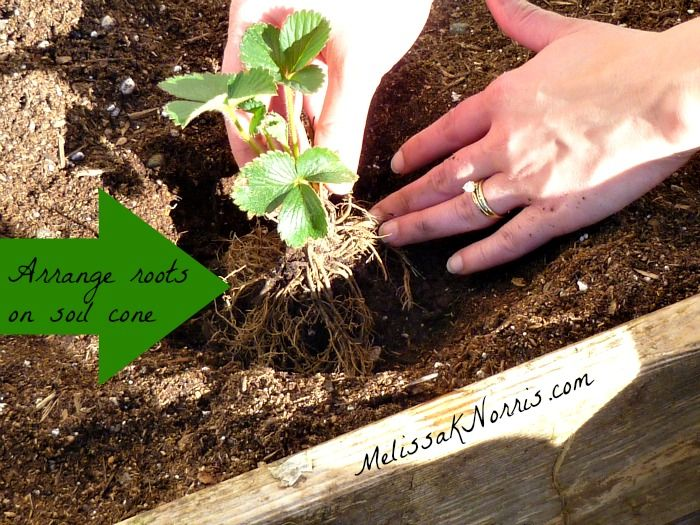 Arrange roots over a cone of soil @MelissaKNorris