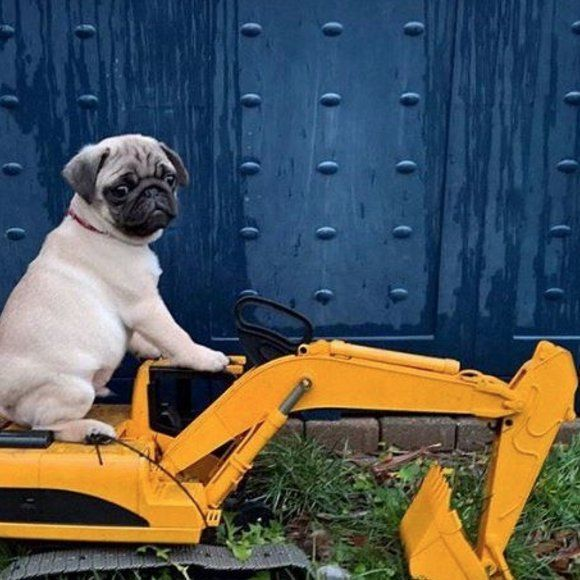 3951 best pugs images on pinterest pug dogs doggies and pug life pug on tractor thecheapjerseys Gallery