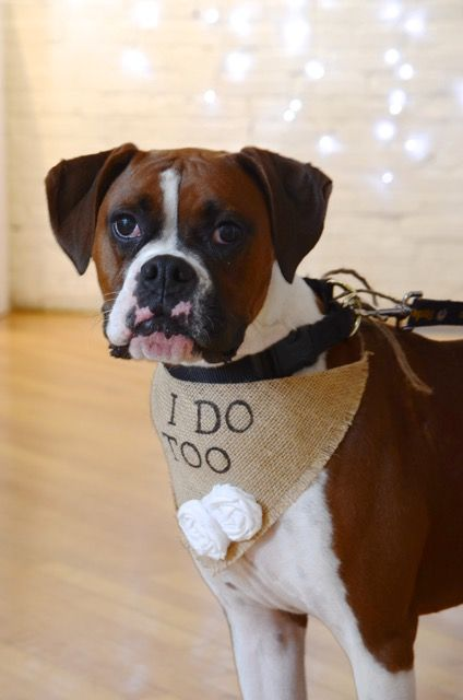 My Humans Are Getting Married dog wedding. Dog friendly wedding. Dog picture wedding. Boxer wedding