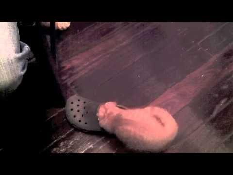 Cute Kitten Plays with Croc Shoe - Autumn The Ginger Ninja #cute #ginger #kitten #video #playing #Autumn #TheGingerNinja