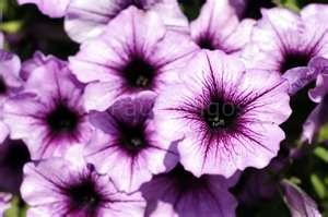 Petunias :)