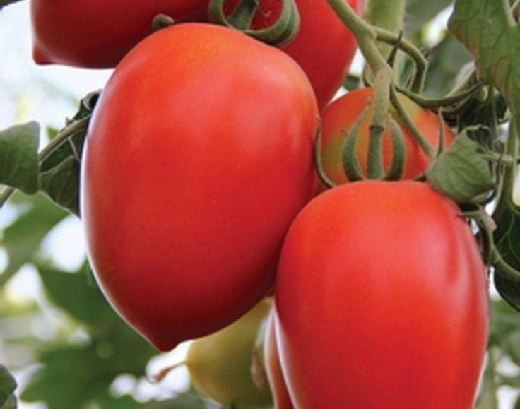 Томат Кенигсберг (50 фото): описание сорта, золотой помидор, какая урожайность, отзывы, видео