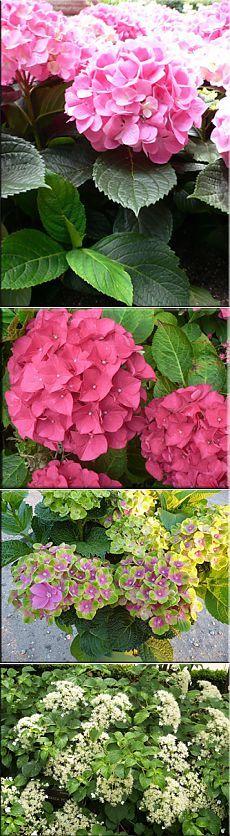 Гортензия (Гидрангея), (Hydrangea). Описание, виды и уход за гортензией