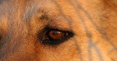 Remedios caseros para la conjuntivitis canina. La conjuntivitis, u ojo rosa, es una infección ocular común en los perros y se produce debido a la inflamación de las membranas mucosas y los tejidos blandos que rodean al ojo. Esta inflamación produce una irritación de color rosa fácil de reconocer en el ojo afectado. La conjuntivitis puede deberse a infecciones bacterianas o virales, alergias, ...