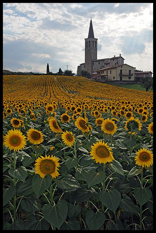 fields of golden yellow - perugia, italy