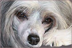 Китайская хохлатая собака, щенки китайской собаки