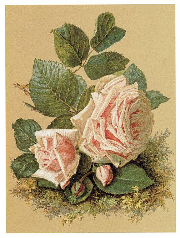 .Victorian peach pink roses perhaps by Catherine Klien or Paul de Longpre