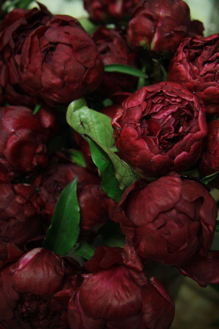 burgundy peonies                                                                                                                                                      More