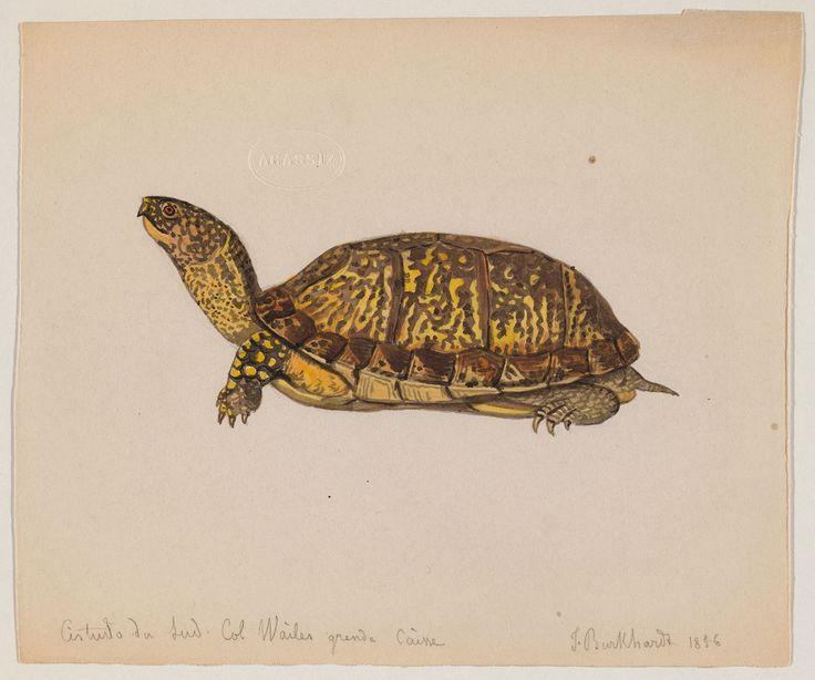 tortoise drawing for pinterest - photo #24