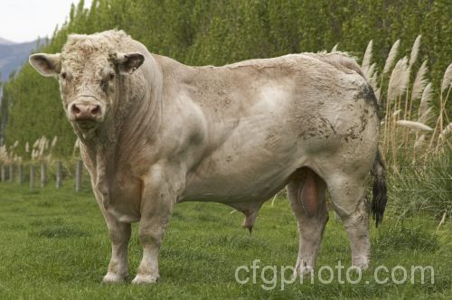 The Charolais Bull, here, is a breed originating from France. The crossbreeding with large-sized cattle, i.e.:Brahman cattle, gave this breed a greater beef/less fat result.