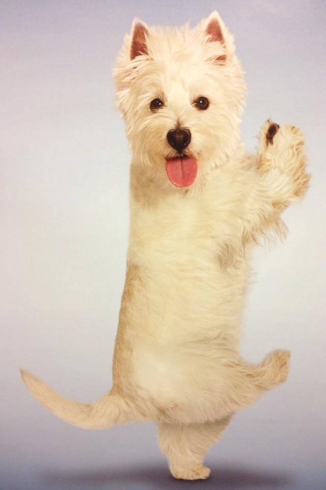 Yoga Westie !
