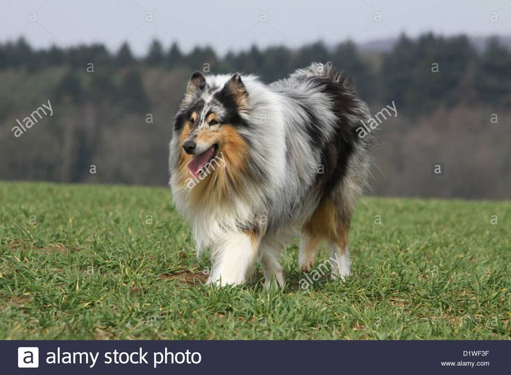 dog-rough-collie-scottish-collie-adult-blue-merle-running-in-a-meadow-D1WF3F.jpg (1300×956)