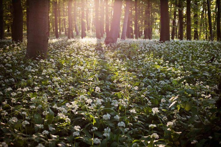 Beszedics Szilvia Medvehagyma virágzás a Bakonyban Több kép Szilviától:  https://www.facebook.com/mosolymuhely1