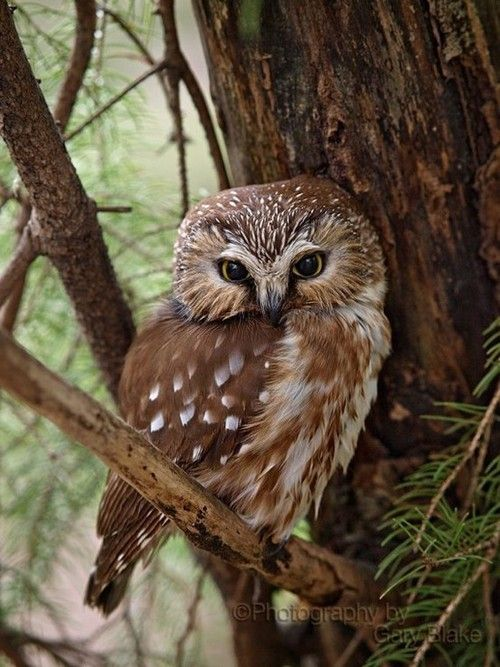 Northern Saw-Whet Owl(Aegolius acadicus). The male brings his female all her food while she is incubating- nice!