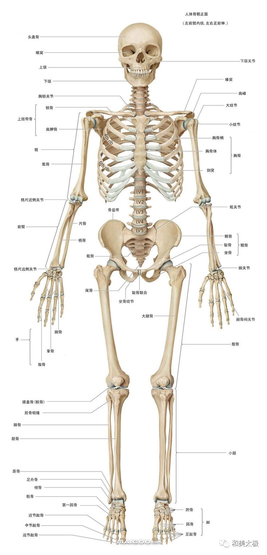скелет человека в картинках с названиями костей направление байкальского музея