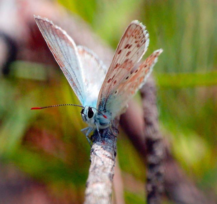 Delicate turquoise #Butterfly,  #Mariposa turquesa #farfalla turchese.
