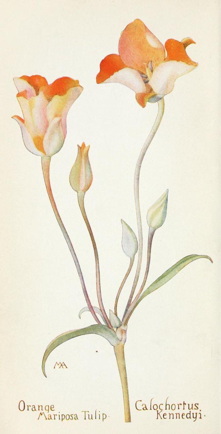 Field book of western wild flowers, botanical illustration.