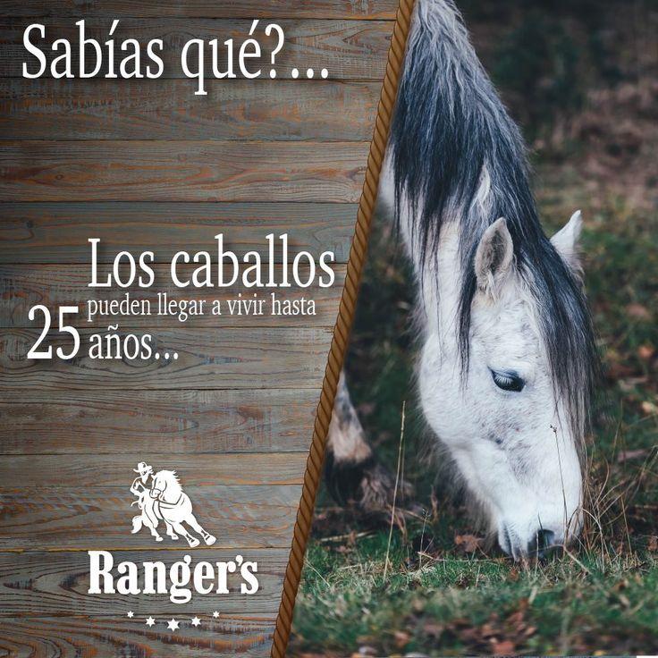 ¡Para los Charros y Vaqueros de corazón! Les compartimos el #DatoCurioso del día acerca de nuestros compañeros: Un caballo domesticado vive alrededor de 25 años, aunque con los cuidados necesarios pueden pasar los 30 años de vida. Eso sí, a mayor tamaño del caballo, menor es la expectativa de vida. #CamisasRangers