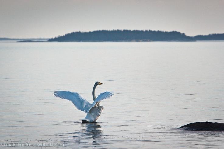 Whooper swan in archipelago of Stockholm Sweden