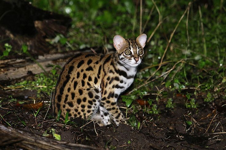 Leopard Cat (Prionailurus Bengalensis)  12+ Rare Wild Cat Species You Probably Didn't Know Exist