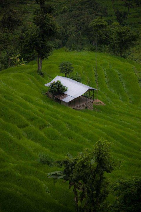 Paddy Field, West Sikkim. Explore Eastern India with us! http://www.kennethphotography.com/india