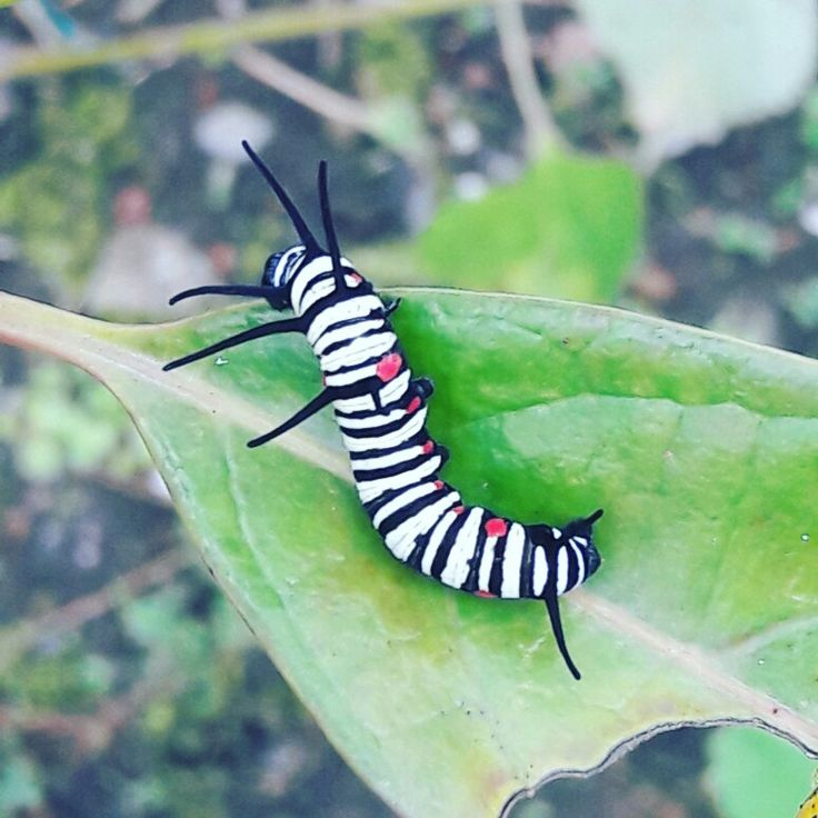 Eukaryota Animalia Arthropoda Hexapoda Lepidoptera Idea leuconoe, whiteblack form (大白斑蝶)
