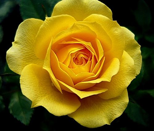 yellow rose - symbol of platonic love | Rose | Pinterest