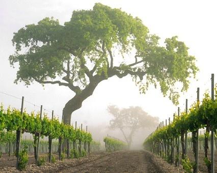 Foggy Spring Morning. Firestone Vineyard & Winery.