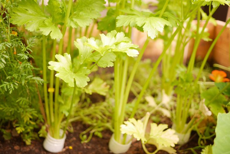 Celery in a raised garden bed. tuulinenpaiva.fi
