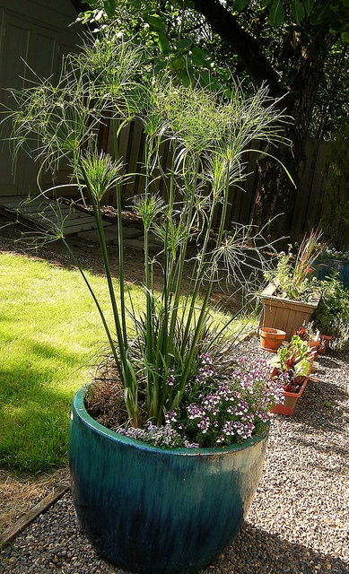 7 best images about king tut grass on pinterest cyperus for Best ornamental grasses for pots