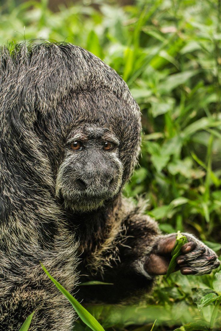 #saki #monkey #saveanimals  #thephotosociety #primate #portrait #pitheciamonachus #pithecia