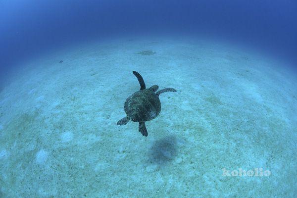 アオウミガメ 奄美大島南部