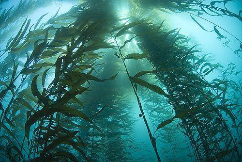 Kelp Forest, Carmel, California.