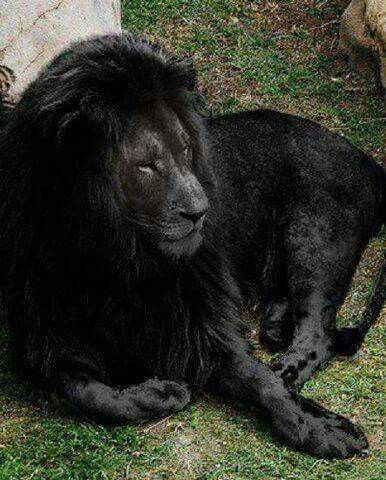 The last black lion on earth :(