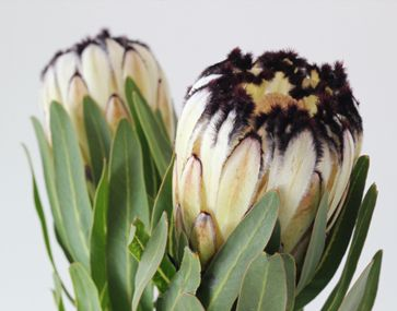 black and white mink protea is a funky flower. Very different. Not overly floral