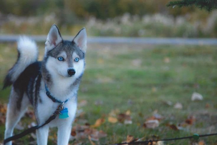 Best 10 Miniature Husky Ideas On Pinterest Alaskan Klee