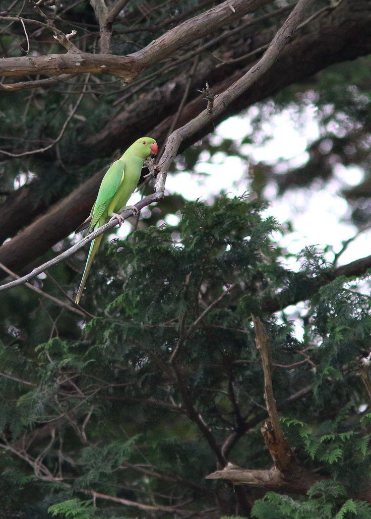 ワカケホンセイインコ Indian Rose-necked Parakeet